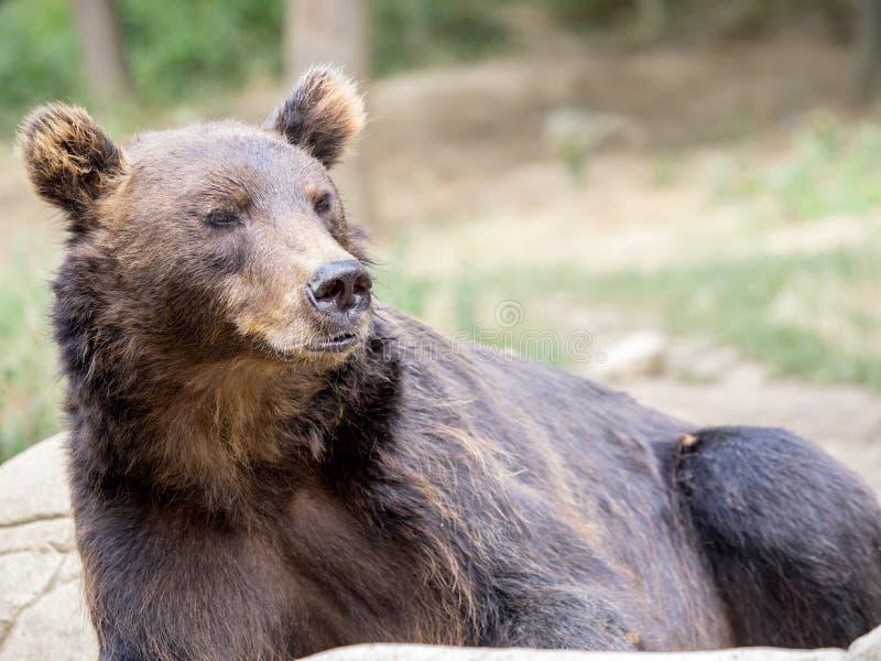 Kamchatka brunbjörn, en av de största björnarna arkivbild