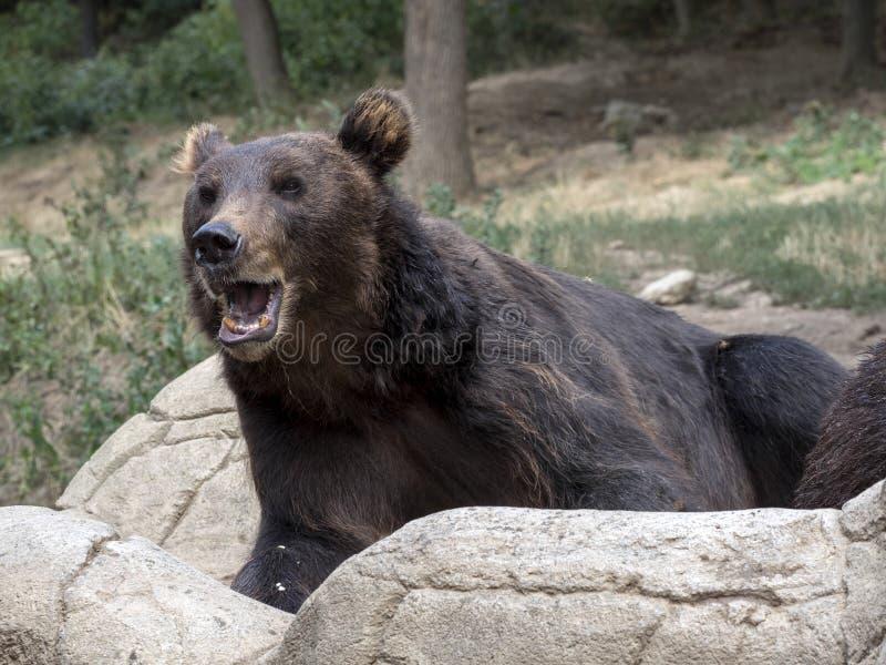 Kamchatka brunbjörn, en av de största björnarna arkivbilder
