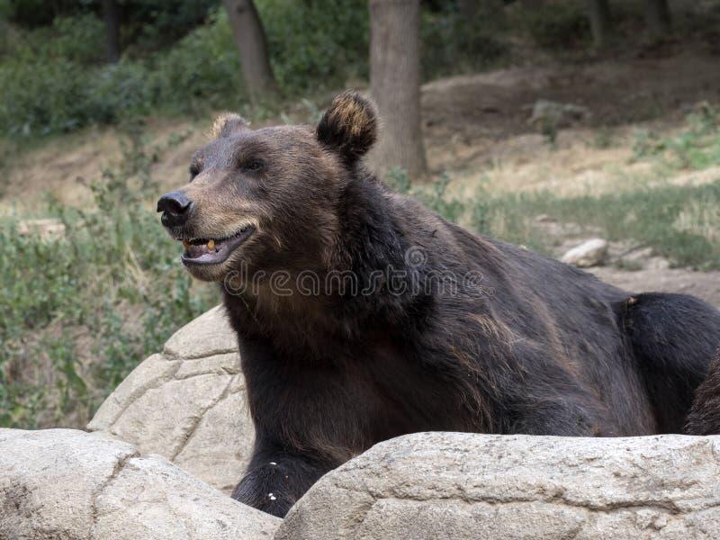 Kamchatka brunbjörn, en av de största björnarna fotografering för bildbyråer