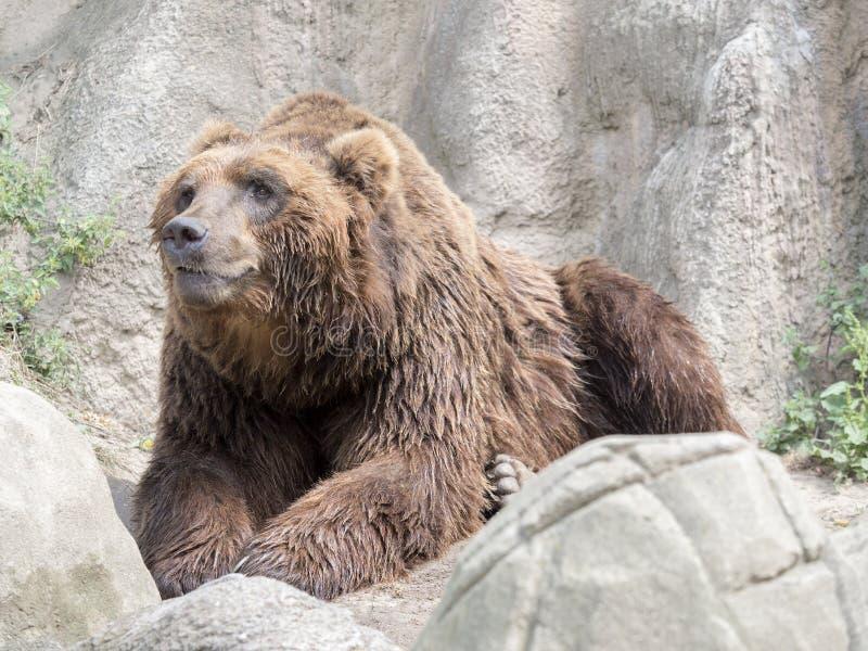 Kamchatka brunbjörn, en av de största björnarna arkivfoto