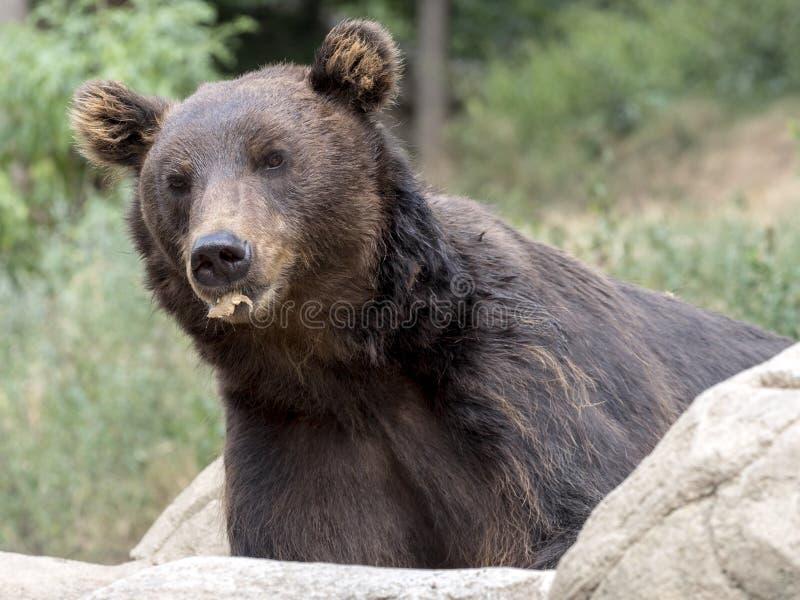 Kamchatka brunbjörn, en av de största björnarna royaltyfria foton