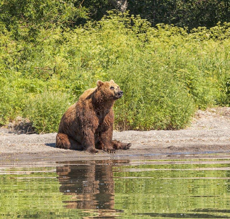 Kamchatka brunbjörn på sjön arkivbilder