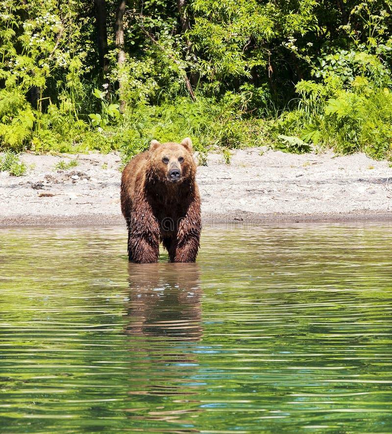 Kamchatka brunbjörn på sjön i sommar royaltyfri foto