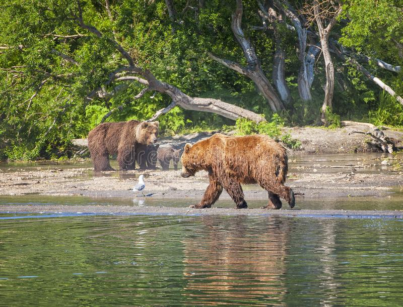 Kamchatka brunbjörn på sjön i sommar royaltyfri bild
