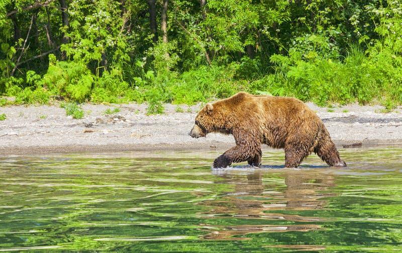 Kamchatka brunbjörn på sjön i sommaren royaltyfri foto