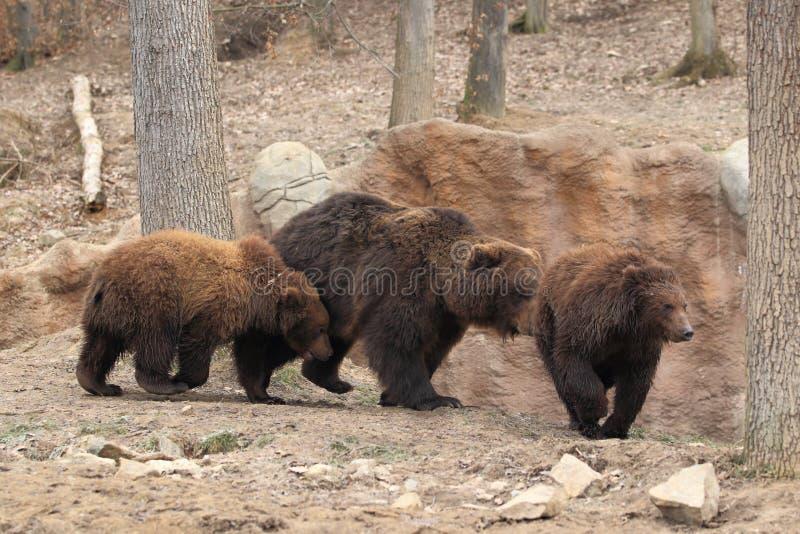Kamchatka brunbjörnar fotografering för bildbyråer
