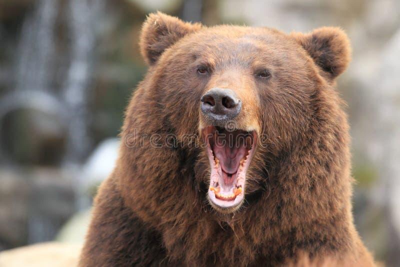 Kamchatka bruntbjörn royaltyfria bilder
