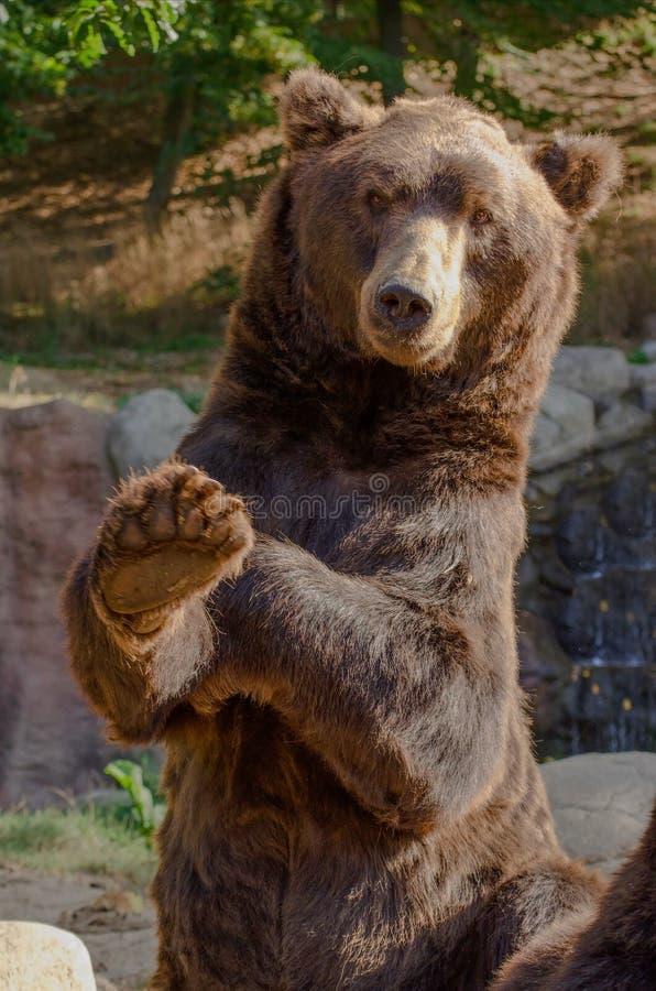 Kamchatka niedźwiedź zdjęcia stock