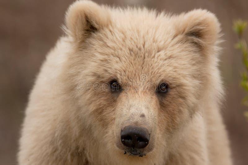 Kamchatka niedźwiedź brunatny, ursus arctos beringianus obrazy royalty free