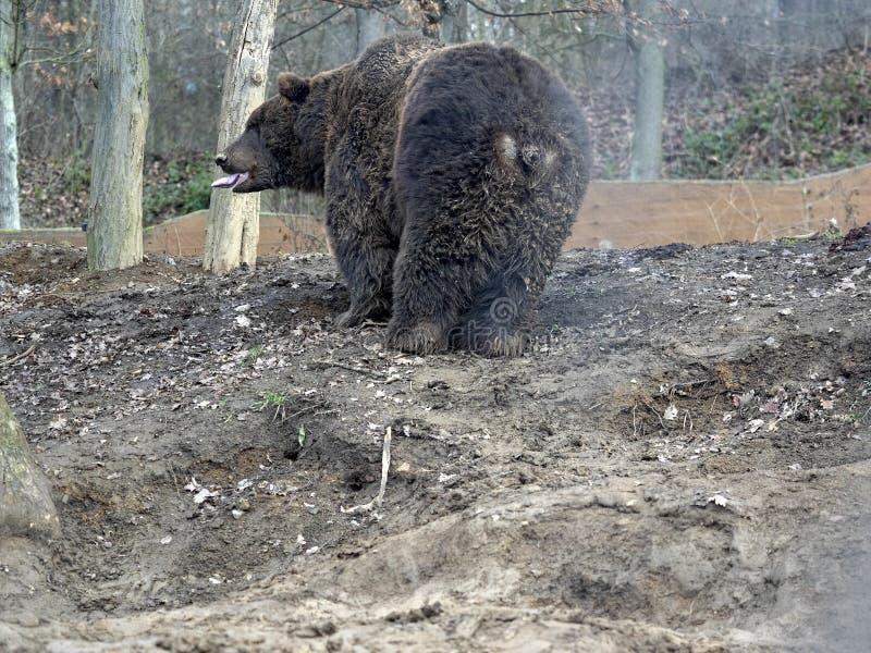Kamchatka niedźwiedź brunatny, Ursus arctos beringianus jest jeden wielcy niedźwiedzie zdjęcie stock