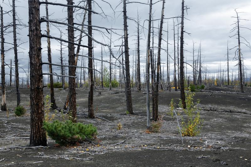 Natural disaster on Kamchatka Peninsula: burnt tree in Dead Wood Dead Forest. Kamchatka Peninsula volcano landscape: burnt tree larch on volcanic slag, ash in royalty free stock image