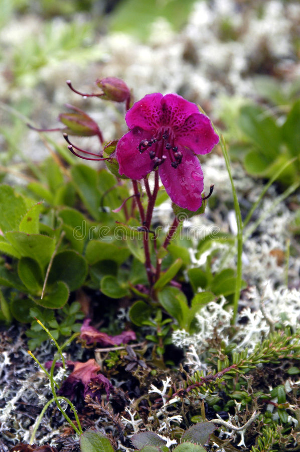 kamchatka rhododendron στοκ εικόνες με δικαίωμα ελεύθερης χρήσης
