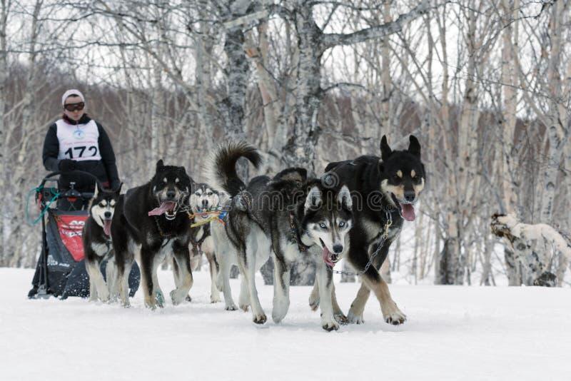 Kamchatka sania psa rasa: działającego psa sania drużyny Alaski husky obraz royalty free
