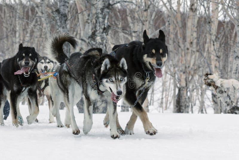 Kamchatka-Schlitten-Hunderennen: alaskischer Schlittenhund des laufender Hundeschlittenteams stockfotografie