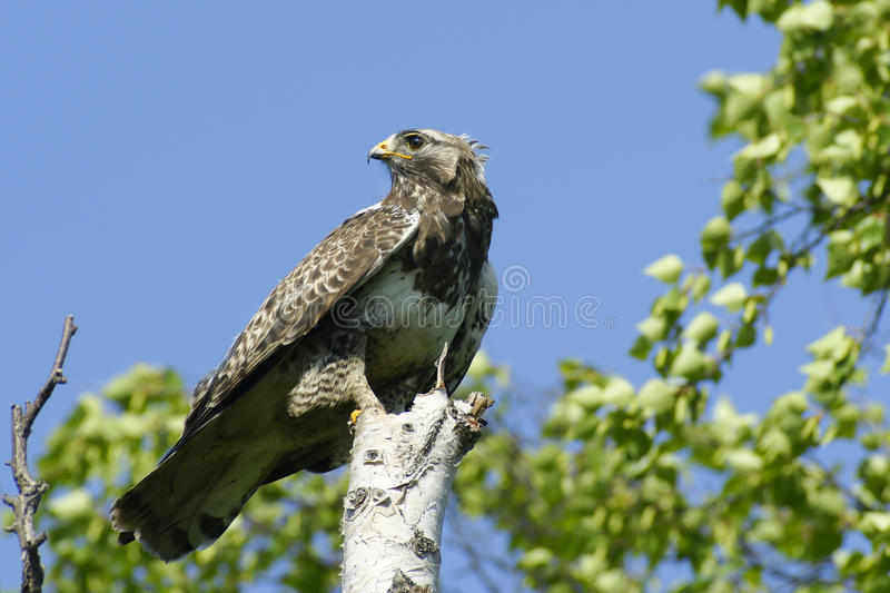 Kamchatkan rough-legged Bussard. lizenzfreie stockfotos