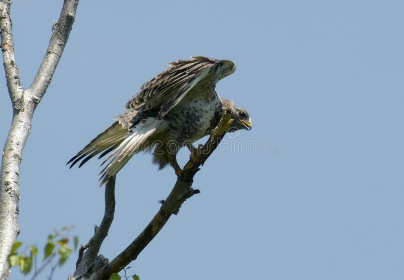 Download Kamchatkan Rough-legged Buzzard. Stock Image - Image: 16225743
