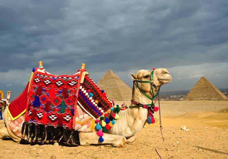 kameel stock fotografie