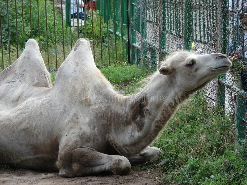 Kameel bij de dierentuin stock afbeeldingen