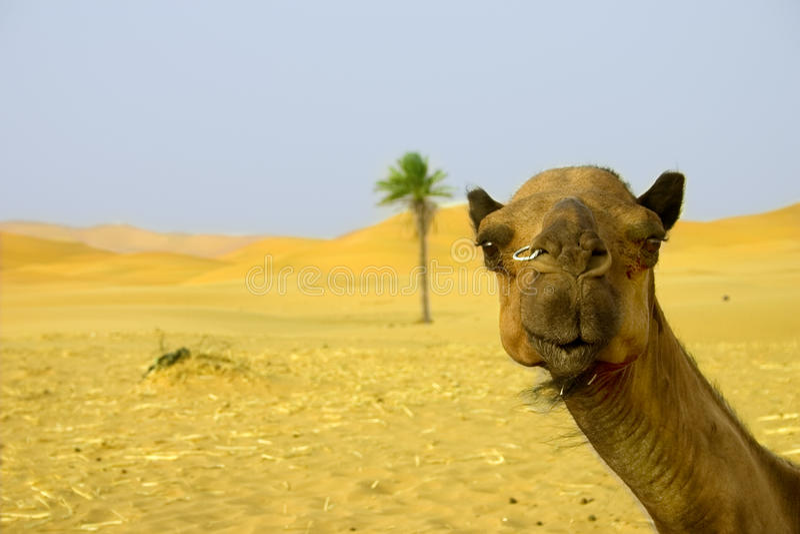 Kameel in de Marokkaanse woestijn stock foto's