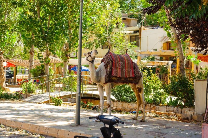 Kameel in de Oude stad van Baalbek in Libanon stock foto