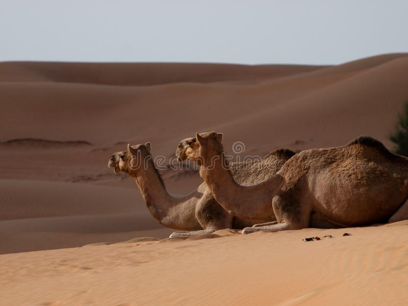 Kameel de schepen van de woestijn stock afbeeldingen
