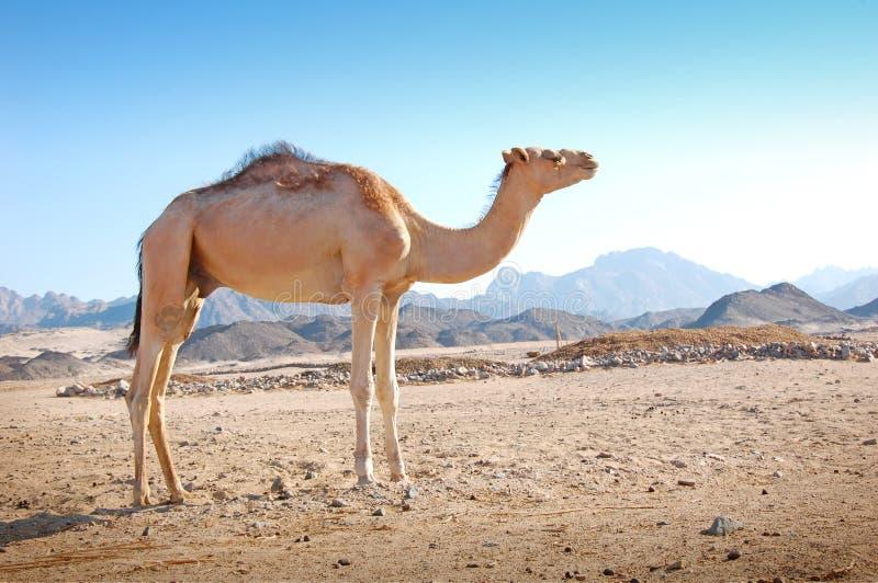 Kameel in de woestijn royalty-vrije stock afbeelding