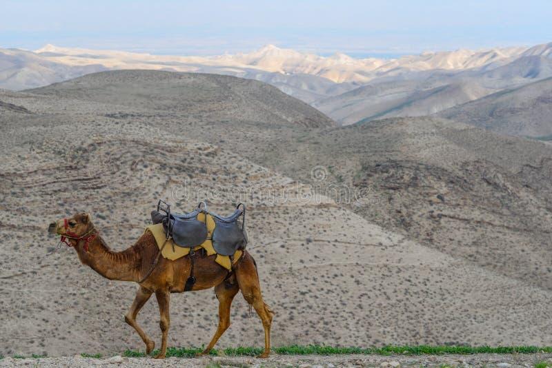 Kameel in de woestijn stock afbeelding