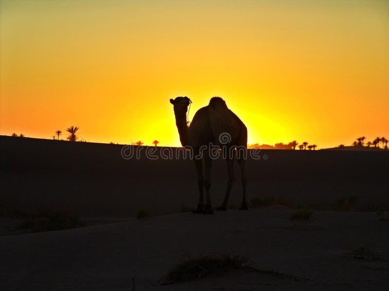 Kameel in de woestijn stock fotografie