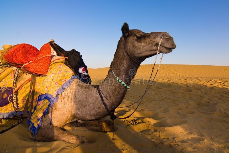 Kameel in de woestijn van Thar stock foto's