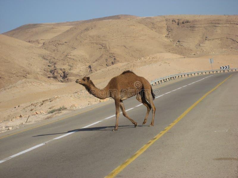 Kameel die een moderne asfaltweg kruisen royalty-vrije stock afbeelding