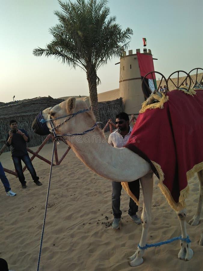 Kameel in Doubai stock fotografie
