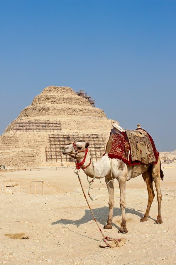 Kameel en de stappiramide van Djoser in Saqqara stock afbeeldingen