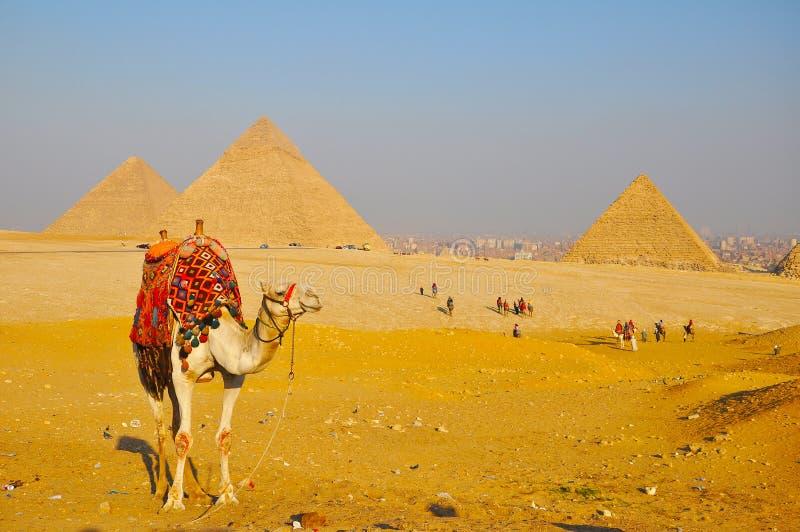 Kameel en Grote Piramide van Giza stock foto