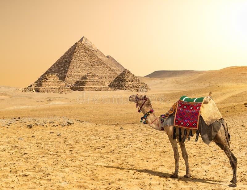 Kameel en Piramides op een rij stock fotografie