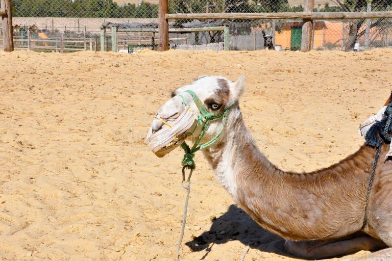 Kameel in het Dierlijke Park van Friguia. Hammamet, Tunesië. stock foto