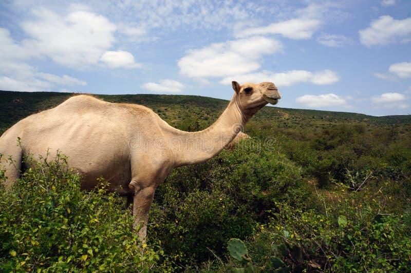 Kameel het weiden in Babile-Olifantsreserve stock foto's