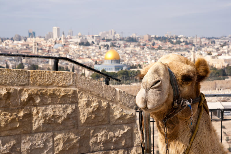 Kameel Jeruzalem royalty-vrije stock fotografie
