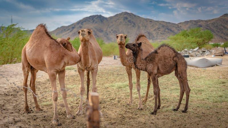 Kameel Live In een Woestijn royalty-vrije stock afbeeldingen