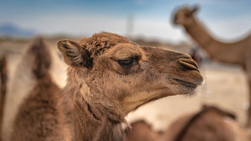Kameel Live In een Woestijn stock foto