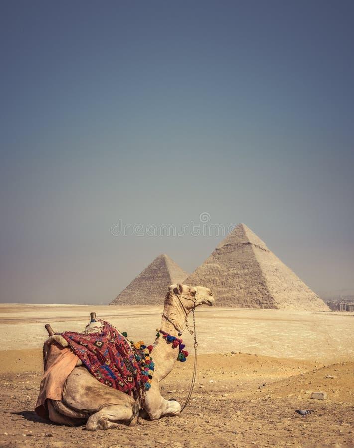 Kameel met de Piramides van Gizeh, Egypte stock fotografie