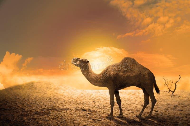 Kameel op de zandduinen bij zonsondergang stock fotografie