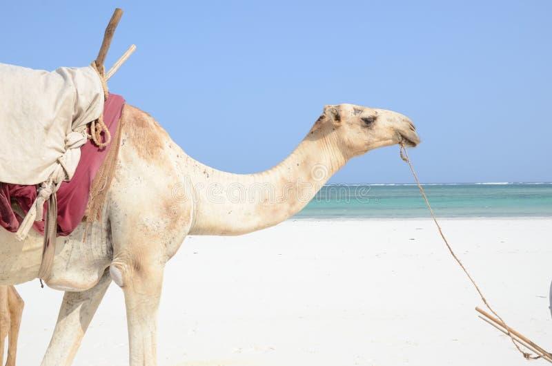 Kameel op het strand royalty-vrije stock fotografie
