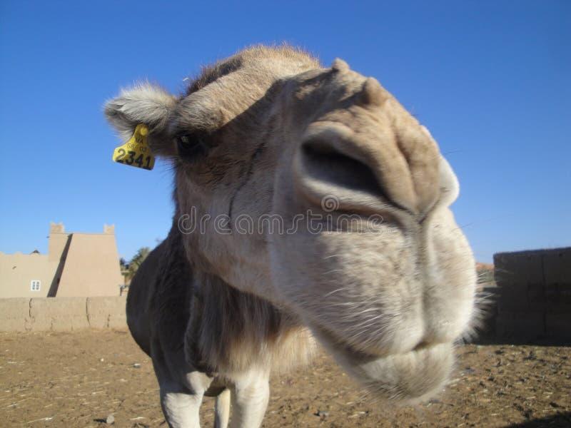 Kameel selfie stock fotografie