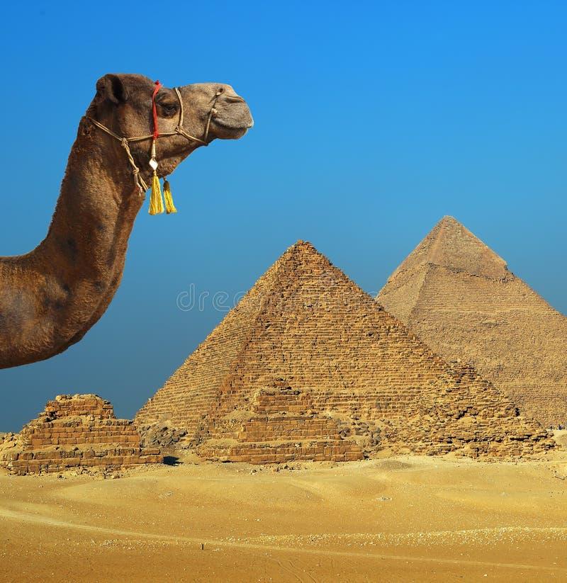 Kameel voor piramide in Egypte royalty-vrije stock afbeeldingen