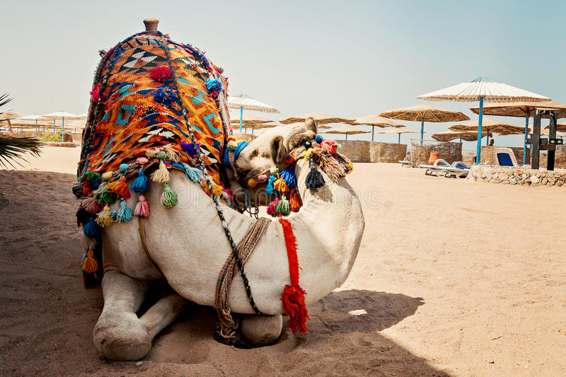 kameel voor toeristenverkeer op het strand in Hurghada, Egypte, slaap royalty-vrije stock fotografie