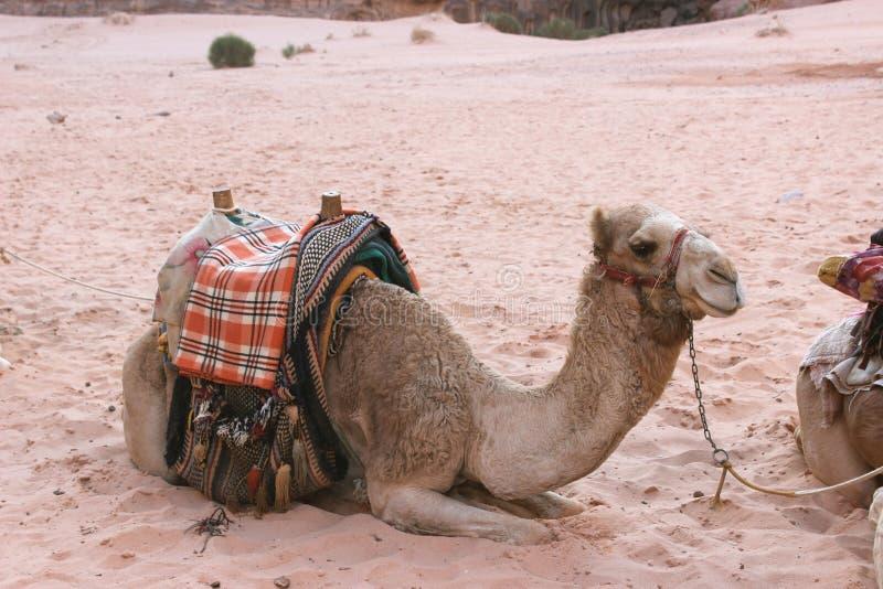 Kameel in Wadi Rum, Jordanië royalty-vrije stock afbeelding