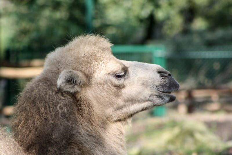 Kameelclose-up in een dierentuin stock afbeeldingen