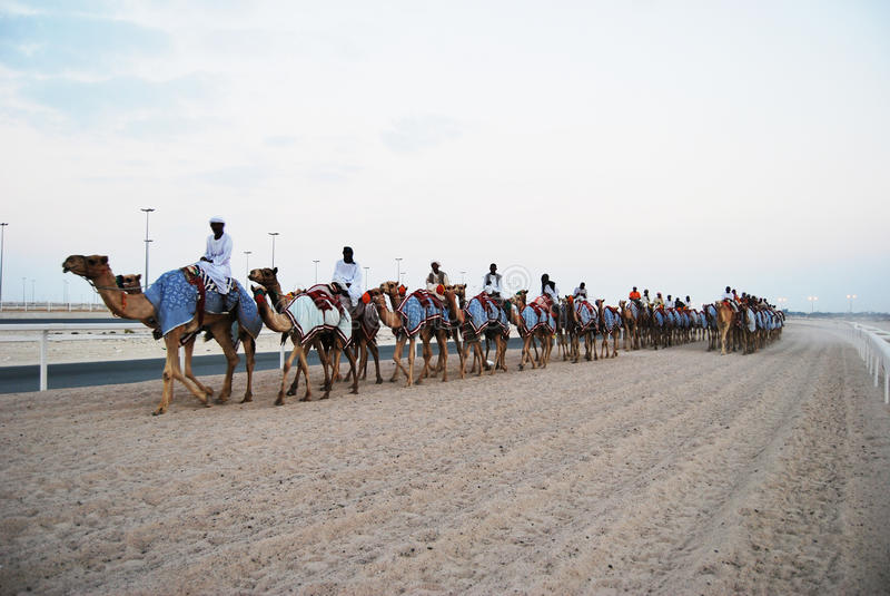 Kameelras, doha, Qatar royalty-vrije stock fotografie