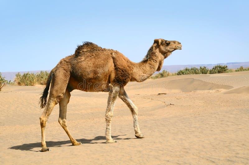 kamelöken sahara royaltyfri foto