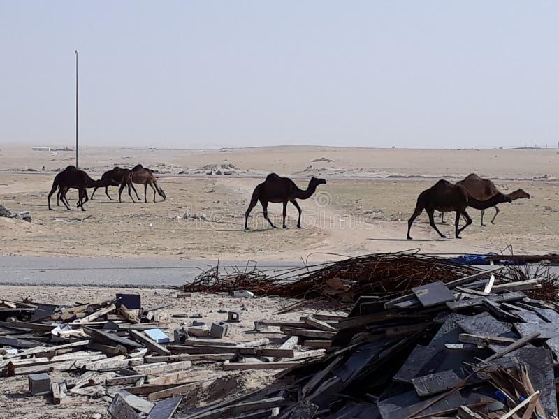kamelökensärdrag arkivfoton